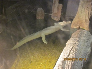 This is one of the 2 albino sharks at the aquarium.