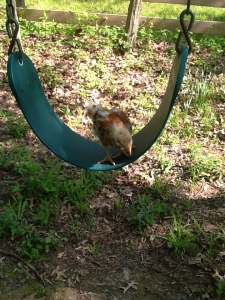 Betty sitting on a swing like the chill little chicken she is.